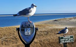 Чайки на пляже Chatham стоковая фотография rf