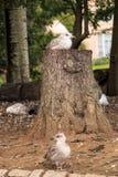 Чайки на пне Стоковое Изображение RF