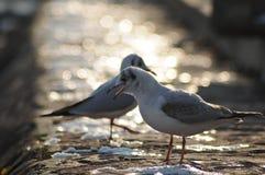 Чайки на побережье Стоковое Фото