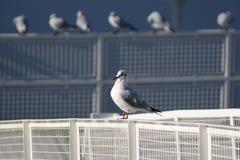 Чайки на портовом районе Стоковая Фотография