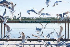 Чайки на птицах подавая запрещенный знак Стоковые Изображения
