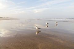 Чайки на пляже в Флориде Стоковая Фотография