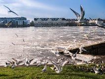 Чайки над рекой, запрудой Athlone в предпосылке Стоковое Изображение