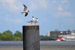 Чайки на штабелевке реки Стоковое Изображение