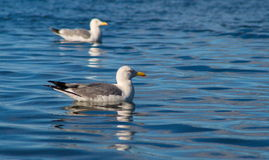 Чайки на Lake Baikal Стоковая Фотография