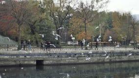 Чайки объезжая летание на парке города осени видеоматериал