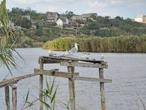 Чайки около реки Стоковая Фотография
