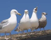 чайки острова пожара Стоковые Фотографии RF