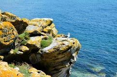 Чайки от островов Cies (Галиции, Испании) Стоковая Фотография