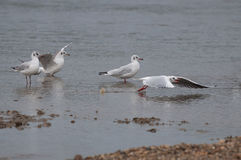 Чайки отдыхая в воде Стоковые Изображения RF