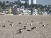 Чайки охлаждая, пляж Санта-Моника, Калифорния, США Стоковое Изображение RF