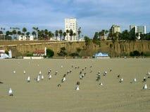 Чайки охлаждая, пляж Санта-Моника, Калифорния, США Стоковая Фотография RF