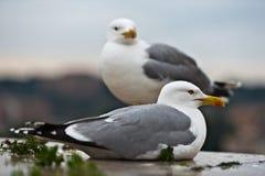 чайки пар стоковое изображение