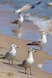 чайки пляжа Стоковые Фото