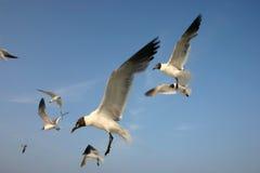 чайки полета Стоковое Изображение RF