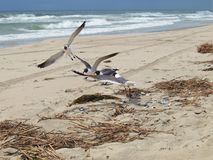 Чайки приземляясь на атлантический пляж Стоковое Изображение RF