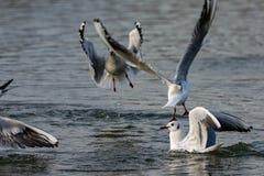 Чайки приземляясь на воду стоковое изображение