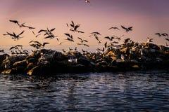 Чайки принимая от утесов Стоковое Фото
