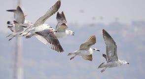 Чайки принимая  стоковое изображение rf