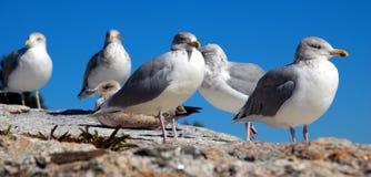 чайки пункта pemaquid Стоковые Фотографии RF