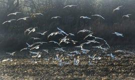 Чайки реки летая и ища для еды Стоковые Изображения RF