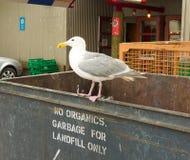 Чайки садились на насест на мусорном контейнере на морском порте в северной Канаде Стоковое Изображение RF