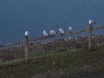 Чайки садить на насест на загородке сток-видео