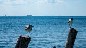 Чайки садясь на насест на деревянных столбах стоковое изображение