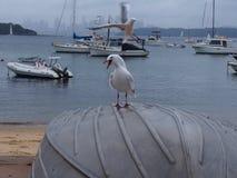 Чайки серебрят чайку и шлюпки, гавань Сиднея стоковое изображение rf