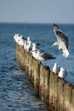 Чайки сидя на волнорезе Стоковое Изображение