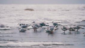 Чайки сидя на замороженном покрытом лед море сток-видео