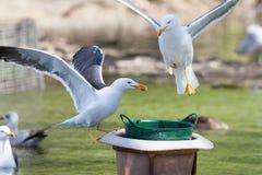 Чайки состязаясь для еды Стоковая Фотография RF