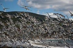 чайки стаи Стоковые Изображения