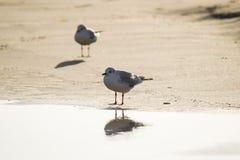 2 чайки стоя на песке приставают к берегу перед морем Стоковые Изображения RF