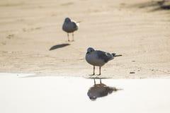 2 чайки стоя на пляже песка Стоковые Фотографии RF
