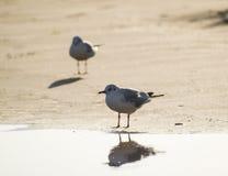 2 чайки стоя на пляже песка Стоковые Фото