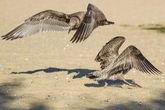 Чайки танцев Стоковая Фотография