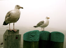 чайки трески плащи-накидк Стоковые Изображения