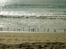 Чайки дуря пляжем, пляж Санта-Моника, Калифорния, США стоковое изображение