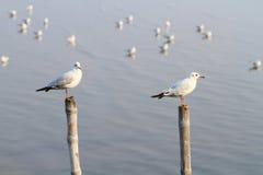 чайки штендеров удерживания Стоковая Фотография RF