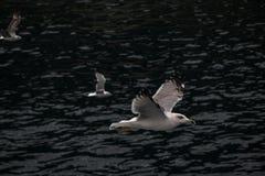 чайки стоковое изображение rf