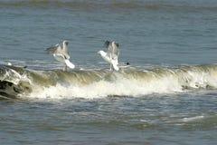 чайки Стоковое Фото