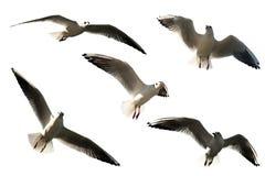 чайки Стоковое Изображение