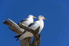 чайки 2 Стоковые Изображения