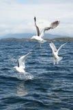 3 чайки Стоковые Изображения RF