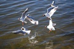 чайки Стоковое фото RF