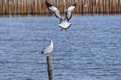 2 чайки Стоковое Изображение