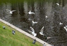 Чайки ducks, голуби, птицы на пруде Стоковые Фотографии RF