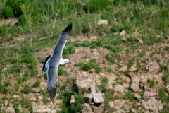 Чайки Hailu черно-замкнутые островом Стоковые Фото