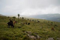 Чайник, овца в горах Simien, Эфиопия Стоковое фото RF